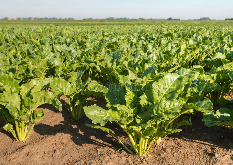 Sugar beets in the field from close. Close up of growing sugar beet or Beta vulgaris subsp. vulgaris var. altissima plants in a large field on a sunny summer day stock photo