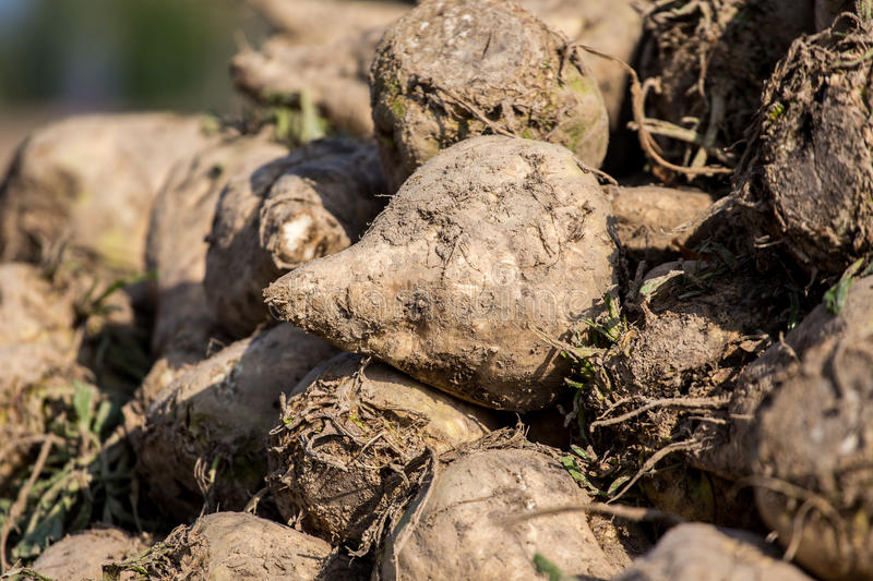 Sugar beets. The pile of sugar beets on the field royalty free stock image