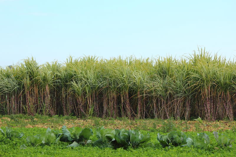 Download Sugar-cane Stock Photography - Image: 23972492