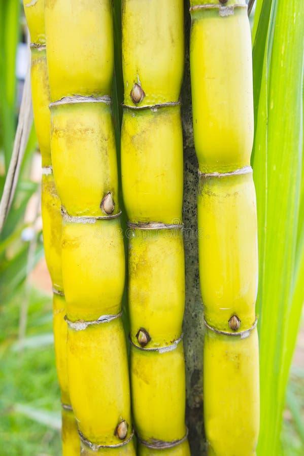 Sugar cane. Sweet sugar cane in bundle stock image