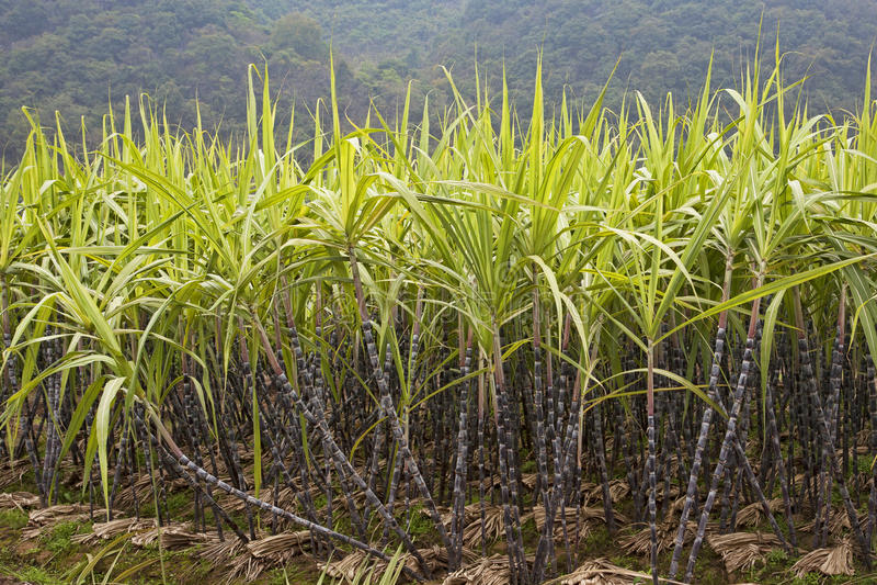 Sugar Cane. A field of sugar cane growing in Guilin county, Guangxi Zhuang Autonomous Region, China stock image