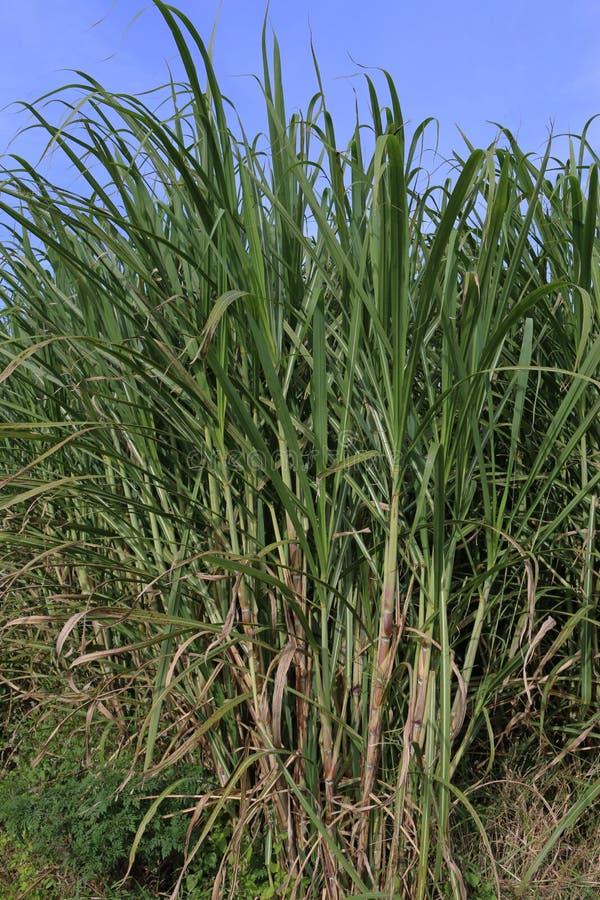 Sugar Cane arkivbild