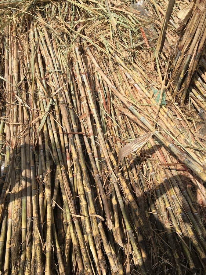 Sugar Cane stock fotografie