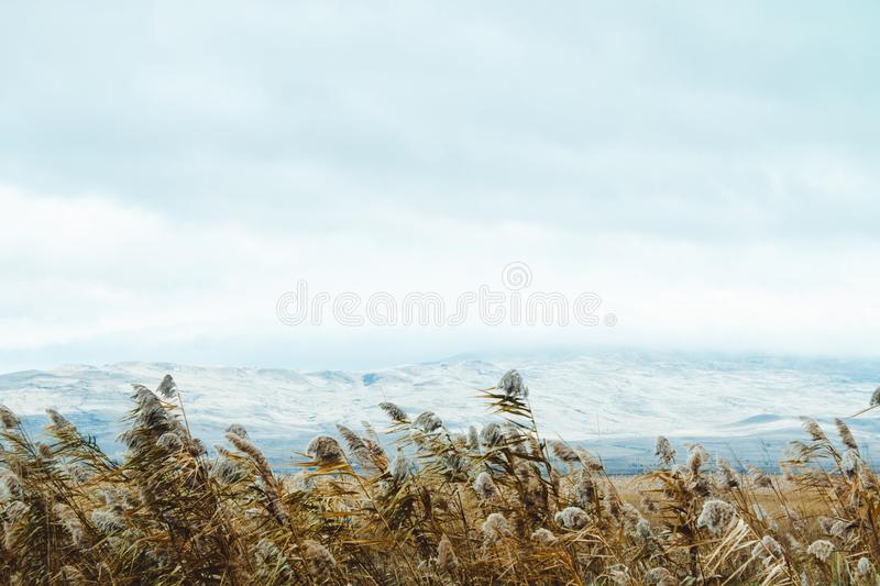 Sugar cane against the blue mountains. Reed ordinary. Sugar cane against the blue mountains. Reed ordinary royalty free stock photos