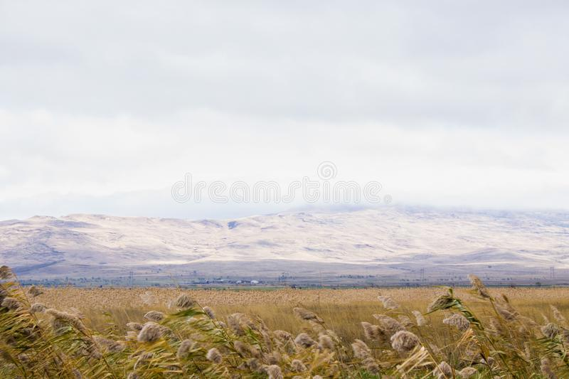 Sugar cane against the blue mountains. Reed ordinary. Sugar cane against the blue mountains. Reed ordinary royalty free stock image