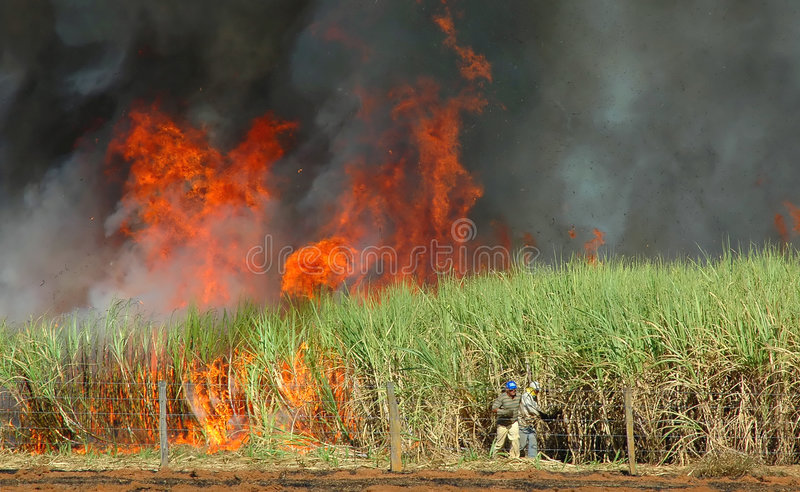 Sugar cane burned stock photography
