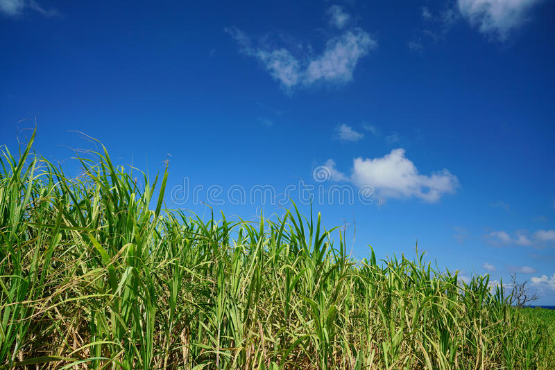 Sugar cane farm with blue sky royalty free stock photos