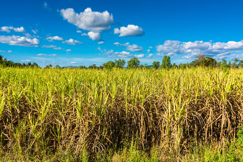 Sugar cane farm. In countryside of Thailand royalty free stock image
