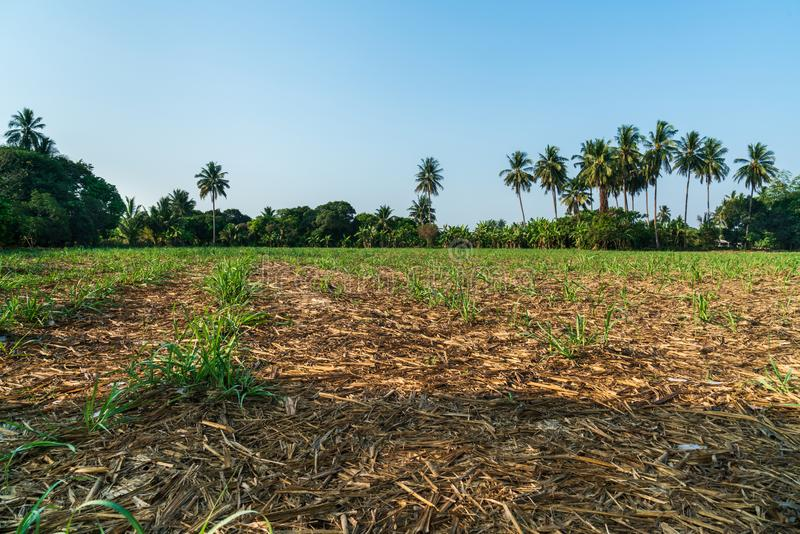 Sugar cane farm. After harvesting in Thailand stock photography