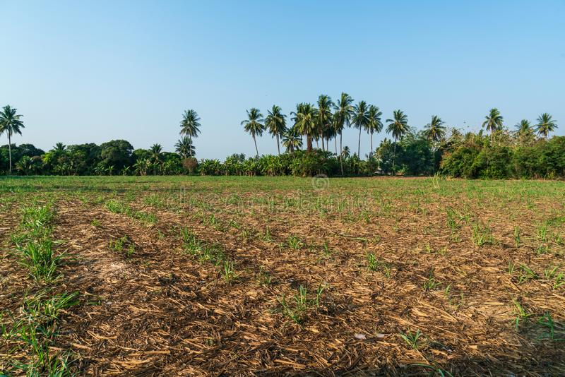 Sugar cane farm. After harvesting in Thailand royalty free stock photography