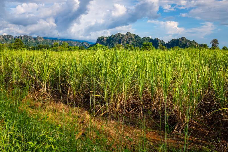 Sugar Cane Farm. At Noen Maprang district, contryside of Thailand stock images