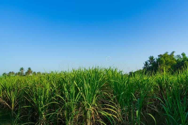 Sugar cane farm. The sugar cane farm in the morning royalty free stock photo