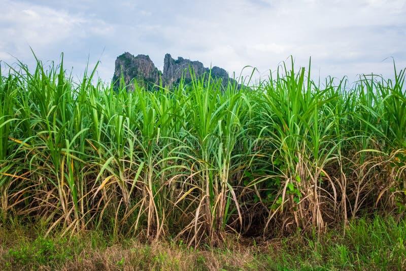 Sugar Cane Farm in Tailandia immagini stock