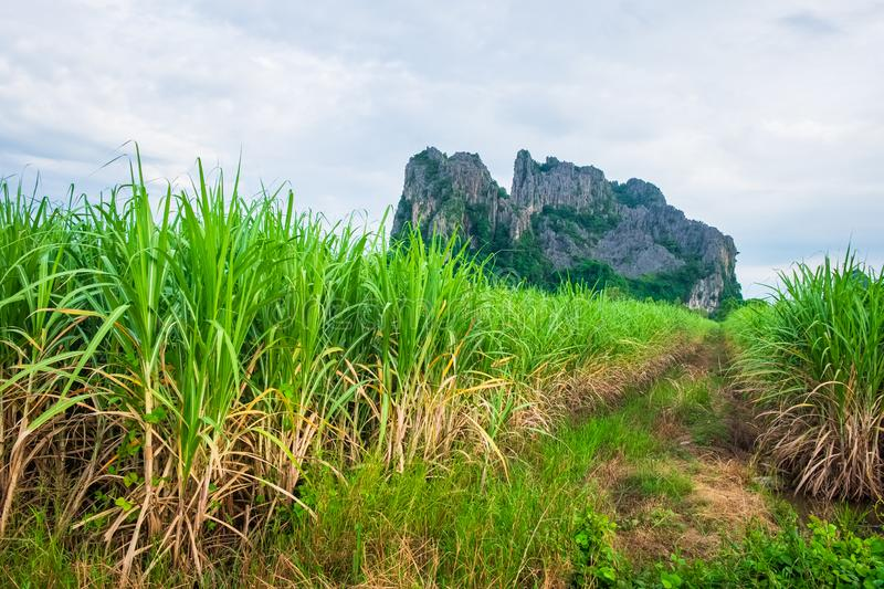 Sugar Cane Farm in Thailand. Sugar cane farm and limestone mountain at Noen Maprang district, Phitsanulok, countryside of Thailand royalty free stock images