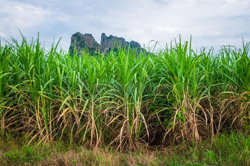 Sugar Cane Farm in Thailand. Sugar cane farm at Noen Maprang district, Phitsanulok, countryside of Thailand stock images