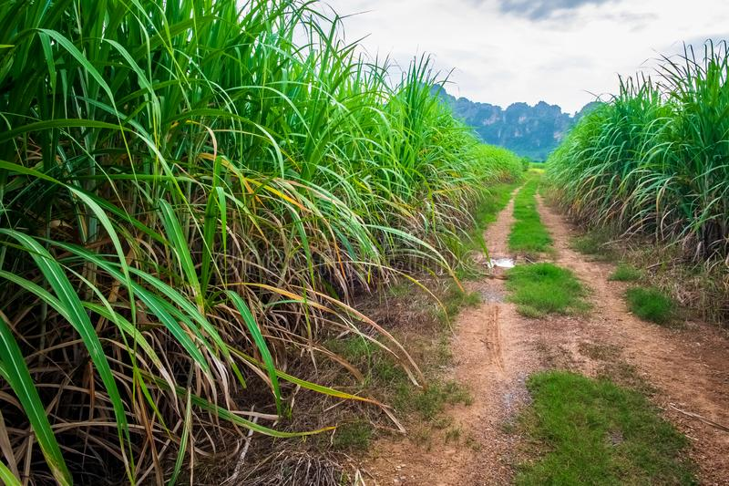 Sugar Cane Farm in Thailand. Sugar cane farm and unpaved road at Noen Maprang district, Phitsanulok, countryside of Thailand royalty free stock images