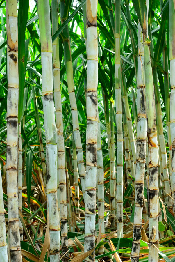 Sugar cane farm royalty free stock photography