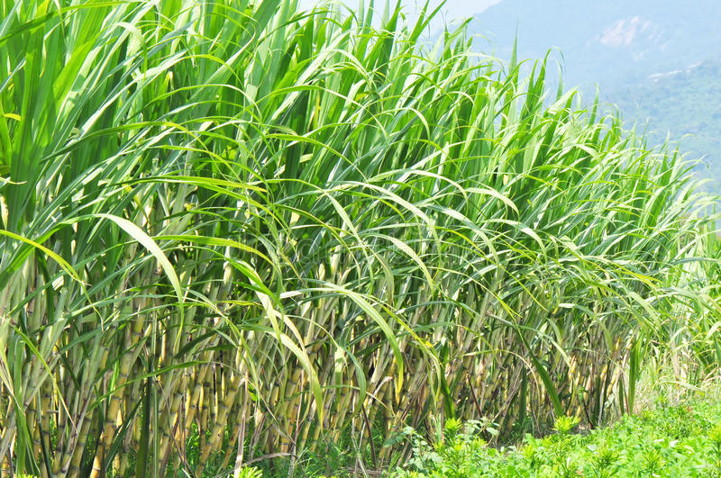 Sugar cane field. Sugar cane plants field background mountain royalty free stock image