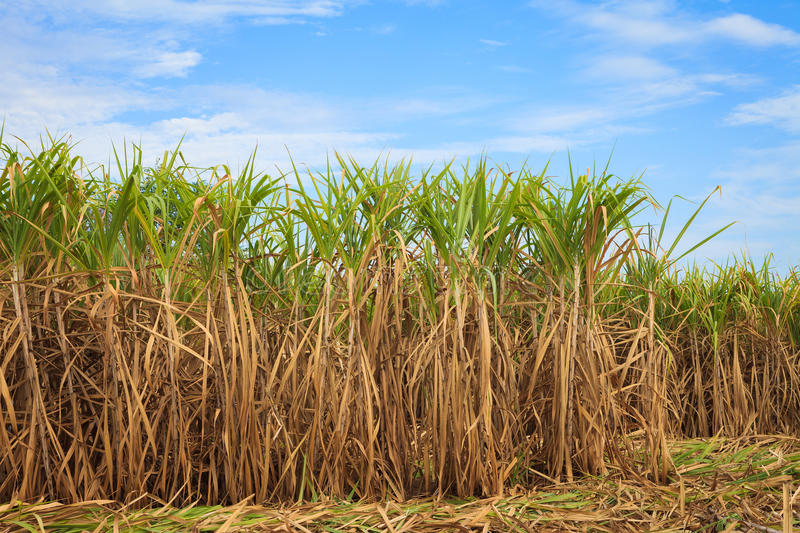 Sugar cane field. In blue sky royalty free stock photos
