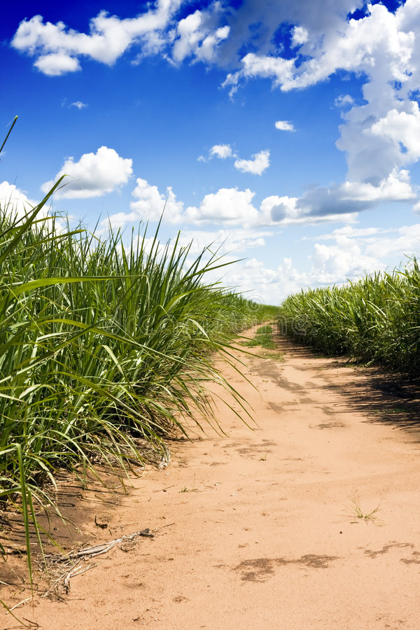 Sugar cane field. Plantation of sugar cane from Brazil royalty free stock image