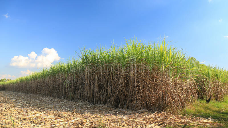 Sugar cane field in blue sky.  royalty free stock photos