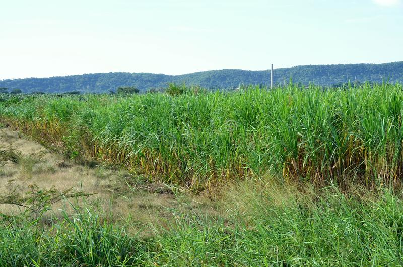 Sugar cane field on Cuba Island stock images