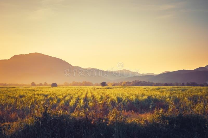 Sugar Cane Field d'annata al tramonto fotografie stock libere da diritti