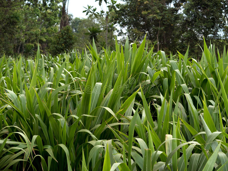 Sugar cane. Field of sugar cane in Malawi royalty free stock image