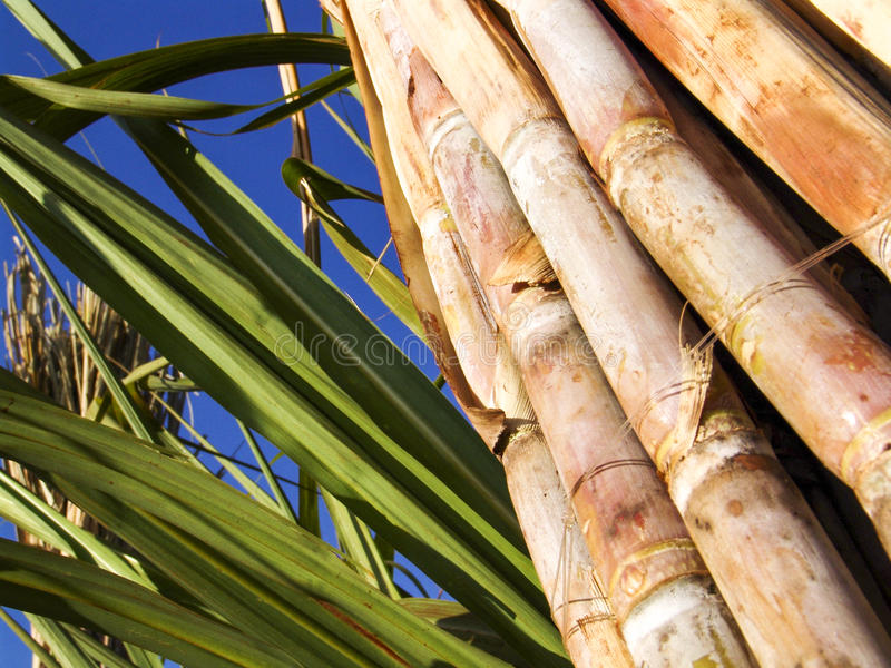 Sugar Cane. Field in Sao Paulo state, Brazil royalty free stock photo