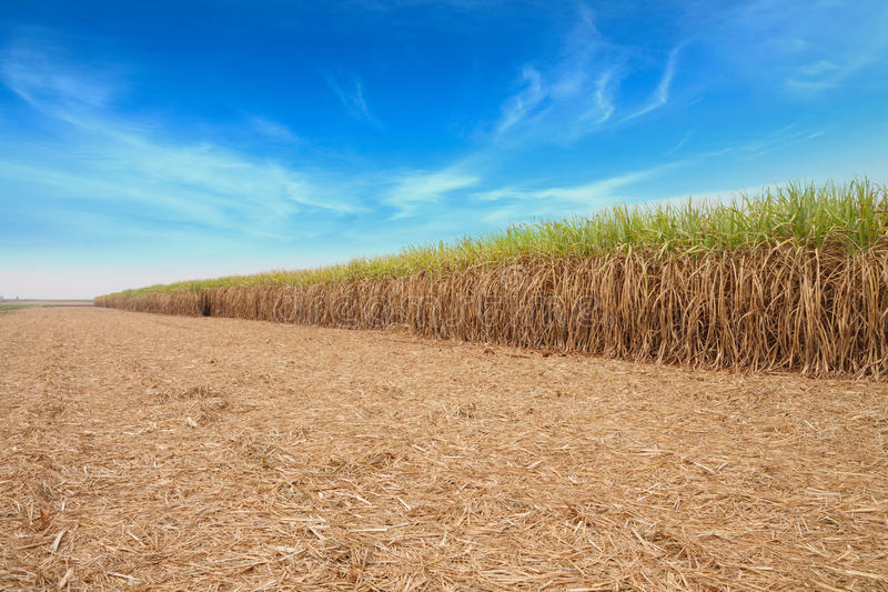 Sugar cane field. Sugar cane field with sky royalty free stock photo
