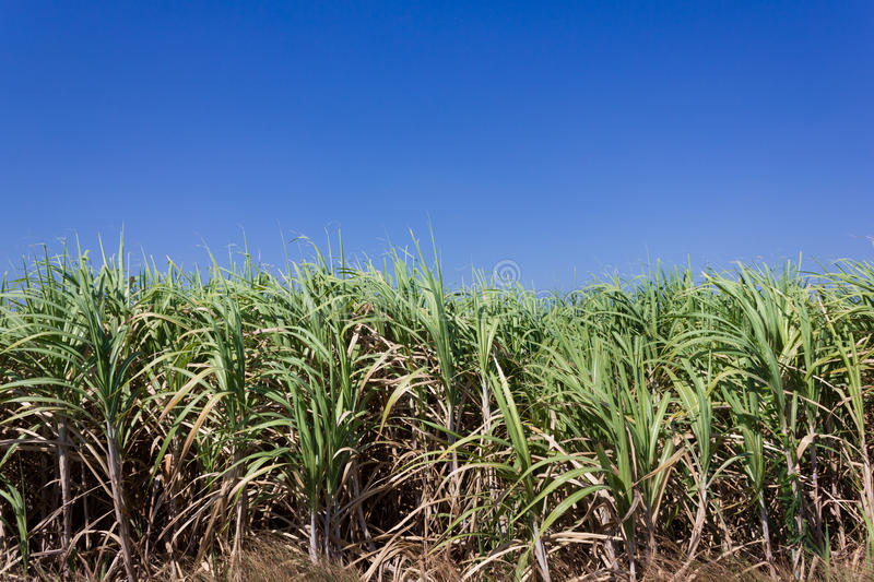 Sugar cane field. Sugarcane field in blue sky in Thailand stock image