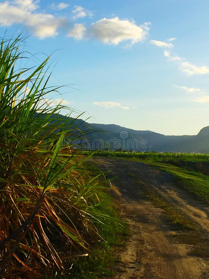 Sugar cane field. Walkway next to sugar cane plants royalty free stock images