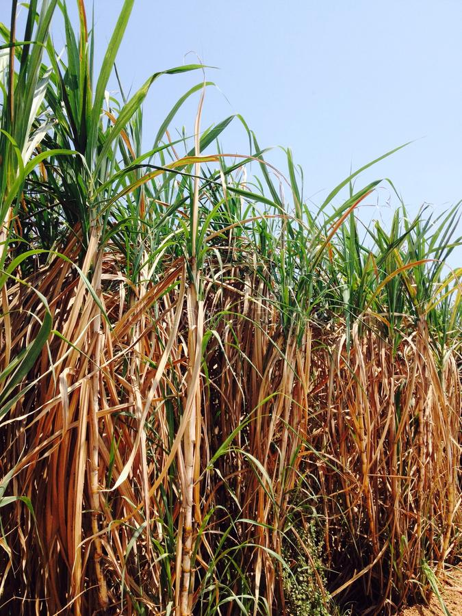 Sugar cane. Fields, culture tropical. In sunlight day royalty free stock image