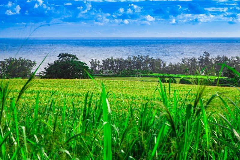 Sugar Cane Fields em Havaí fotografia de stock royalty free