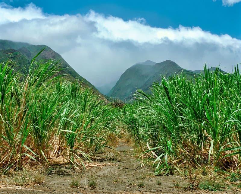 Sugar Cane Fields em Maui, Havaí no 1990's imagens de stock royalty free