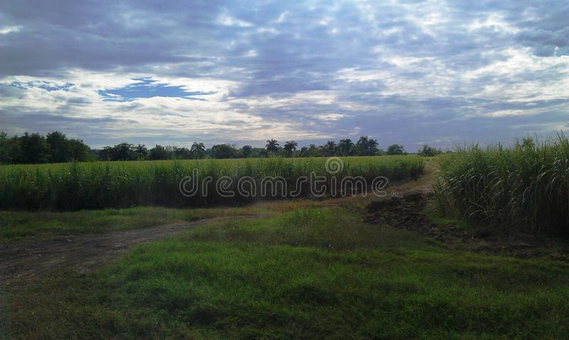 Sugar cane fields. In sunset divided with country road stock images