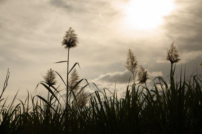 Sugar Cane Flowers arkivfoton