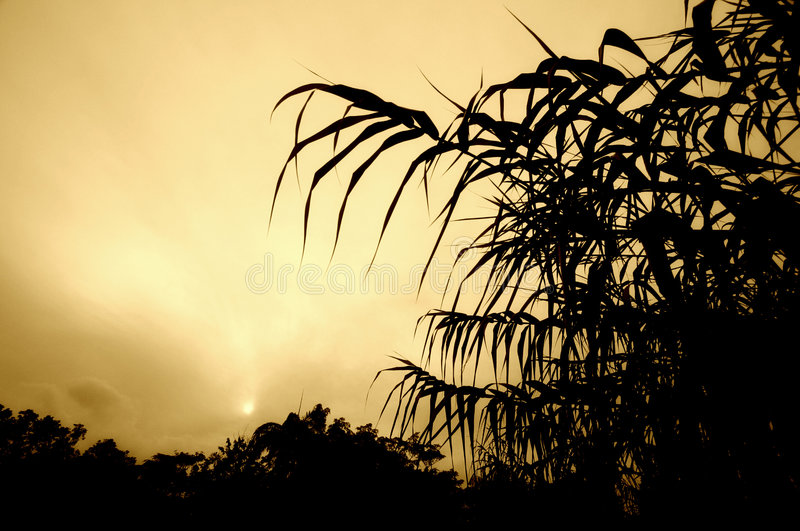 Sugar cane foliage at sunset. Exotic looking sugarcane foliage taken as silhouettes in front of a setting sun. Processed to monochrome with diffuse sepia stock images