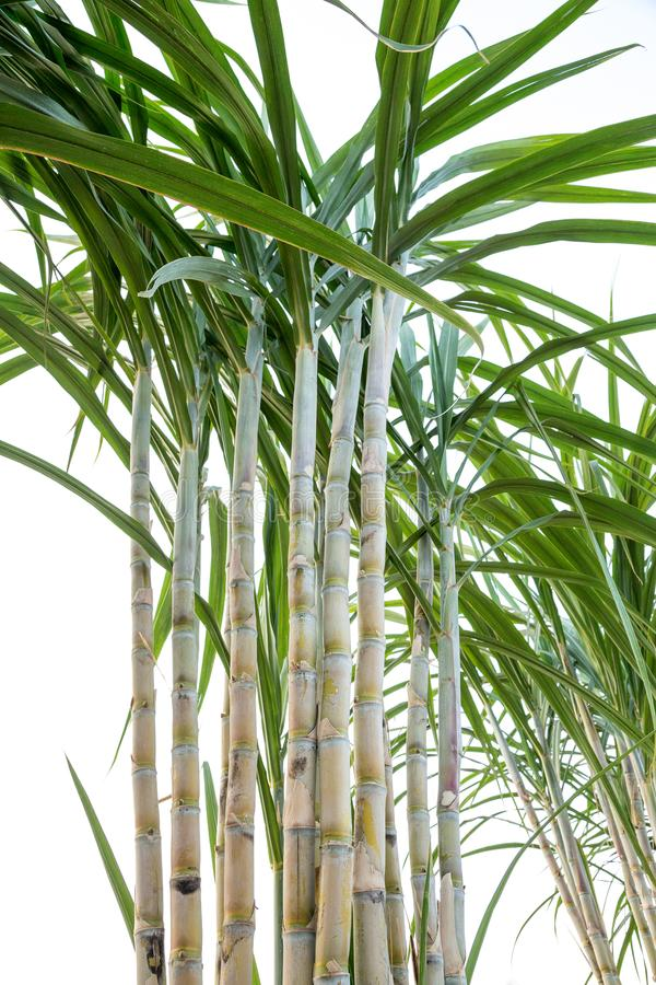 Sugar cane in the garden royalty free stock photo
