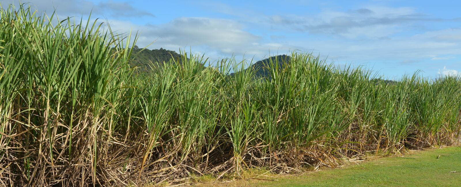 Sugar cane grow in a farm royalty free stock photos