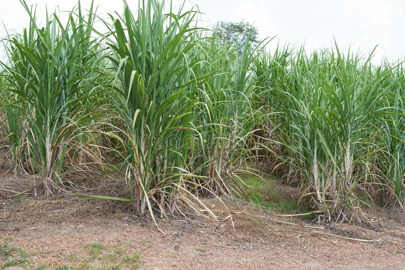Sugar cane growing in the field. At Thailand royalty free stock images