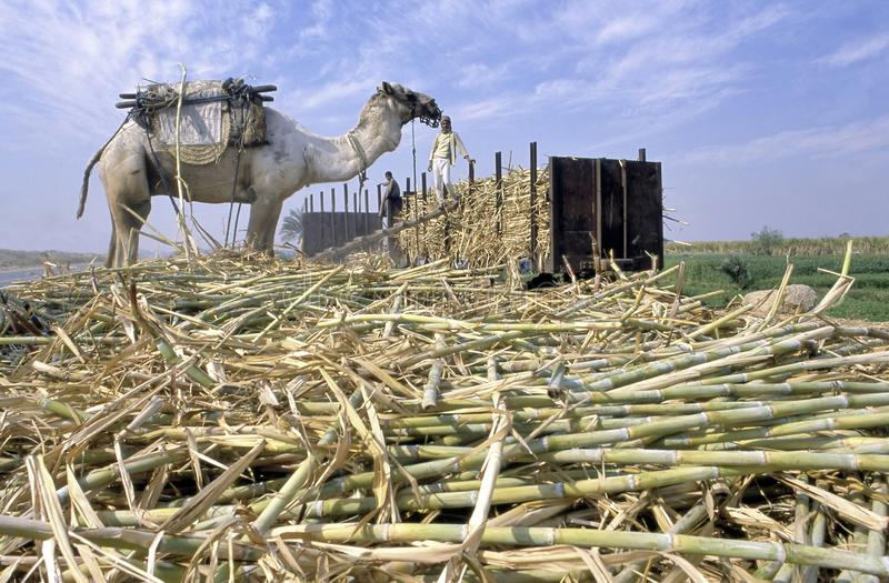 Sugar cane harvest in Egypt royalty free stock images