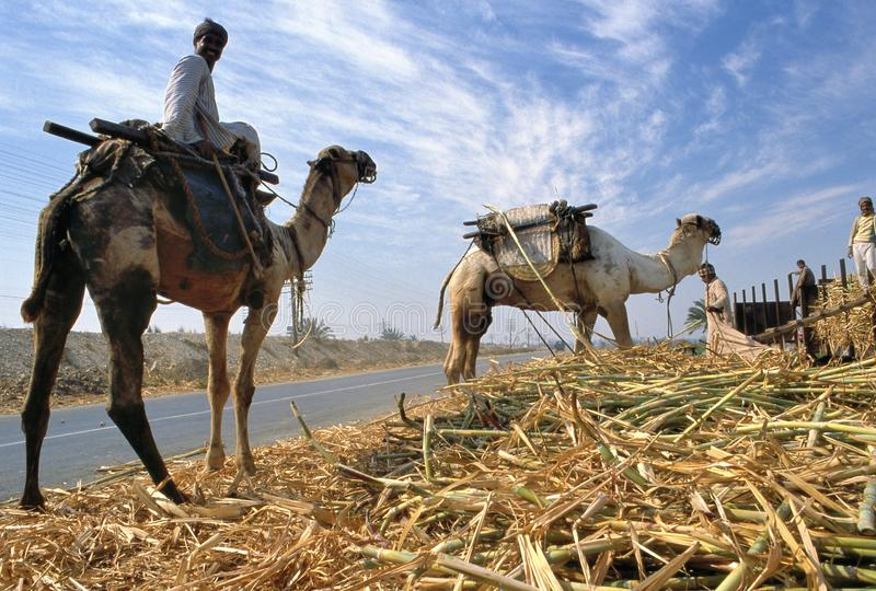 Sugar cane harvest in Egypt. Qena,Egypt-January 08,2018:Camel riders help transporting reaped canes from the land to trucks during the harvesting sugarcane in royalty free stock images