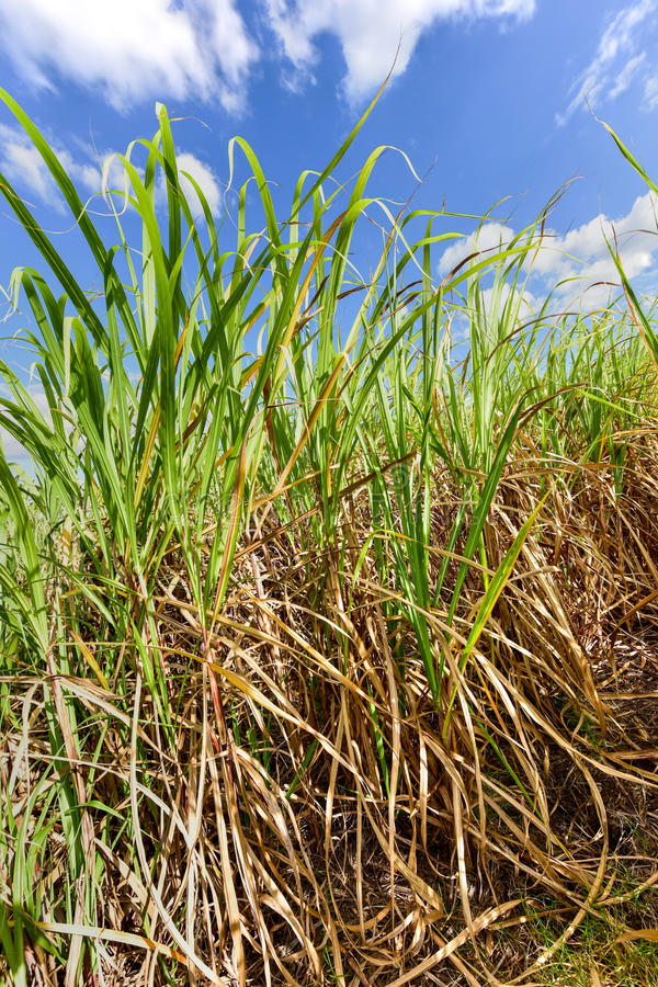 Sugar Cane Harvest. Sugar cane fields in a plantation in Guayabales, Cuba royalty free stock images
