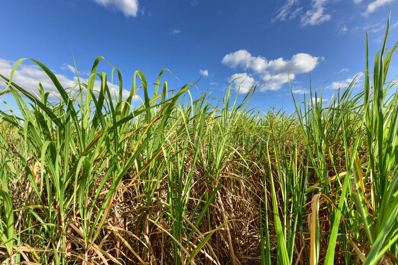 Sugar Cane Harvest. Sugar cane fields in a plantation in Guayabales, Cuba royalty free stock image