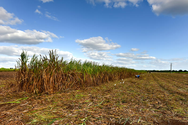 Sugar Cane Harvest. Sugar cane fields in a plantation in Guayabales, Cuba stock images