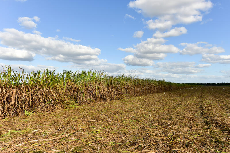 Sugar Cane Harvest. Sugar cane fields in a plantation in Guayabales, Cuba stock photography