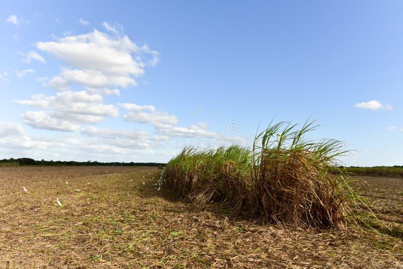 Sugar Cane Harvest. Sugar cane fields in a plantation in Guayabales, Cuba royalty free stock photos