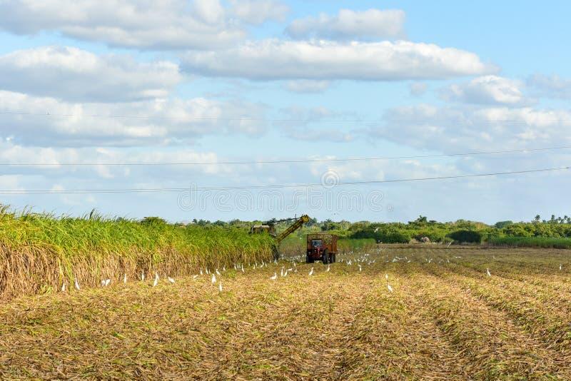 Sugar Cane Harvest. Sugar cane fields in a plantation in Guayabales, Cuba stock photos