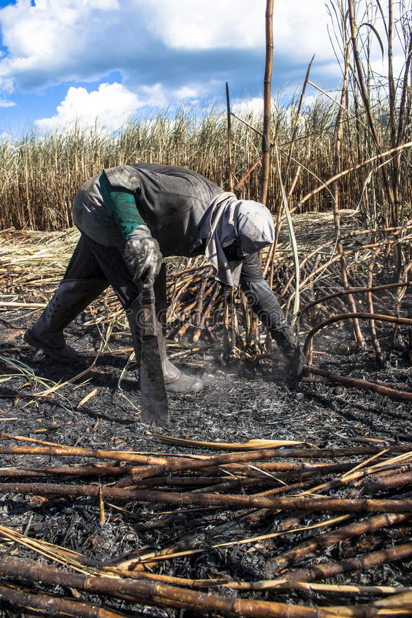 Sugar cane harvest royalty free stock photos